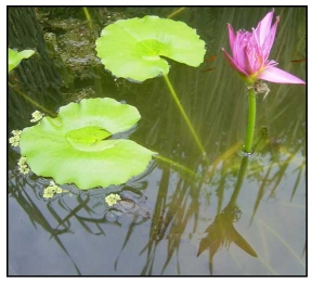 to plant a water lily essay How to grow water lilies  plant water lilies  a water lily's root system can cover a diameter of 15 feet (46 m) .